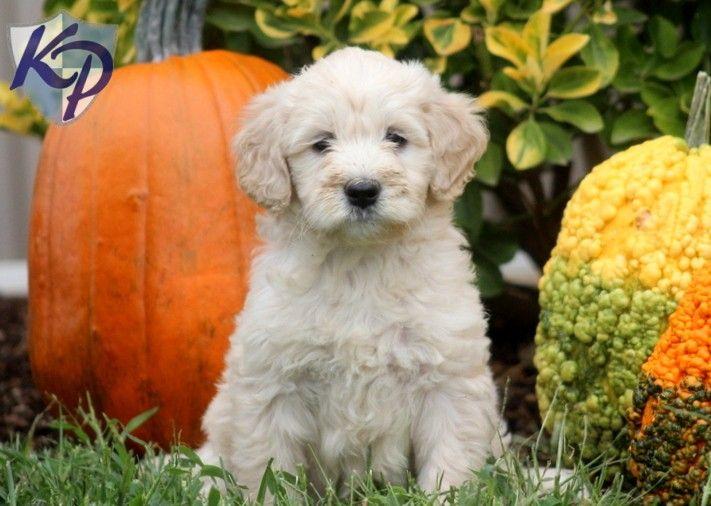 Mini Goldendoodles for Sale   Baby – Miniature ...