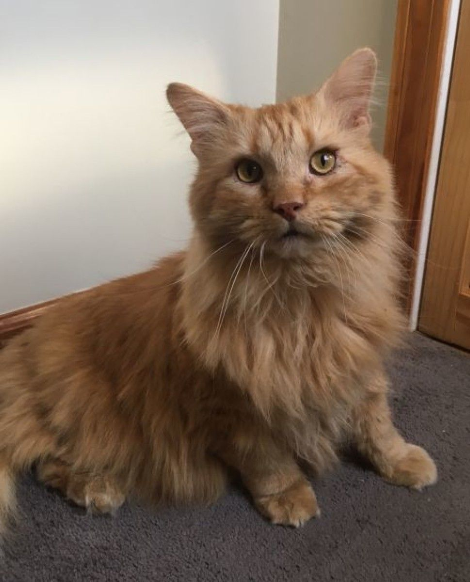 Came To Us As An Owner Surrender Sweet Boy Looking For A Forever Home Very Loving Lap Cat Mellow Yet Still Pla Cat Adoption Animal Rescue Help Homeless Pets