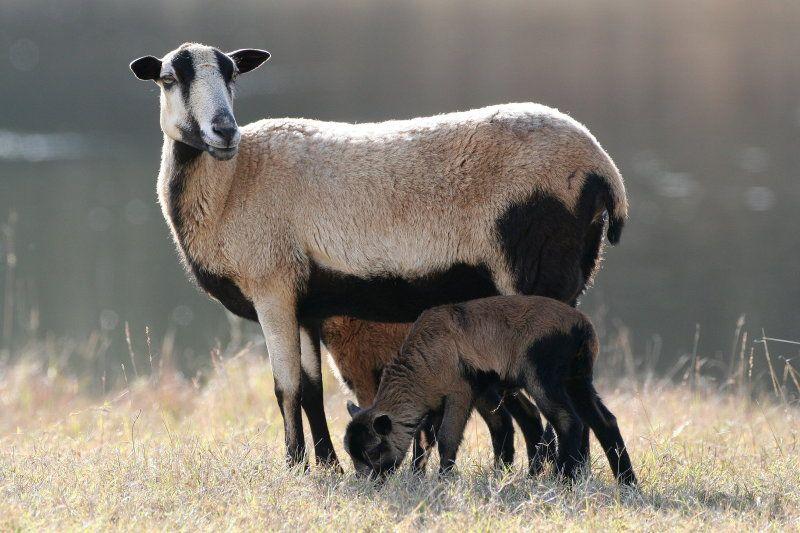 barbados black belly sheep images Google Search Sheep
