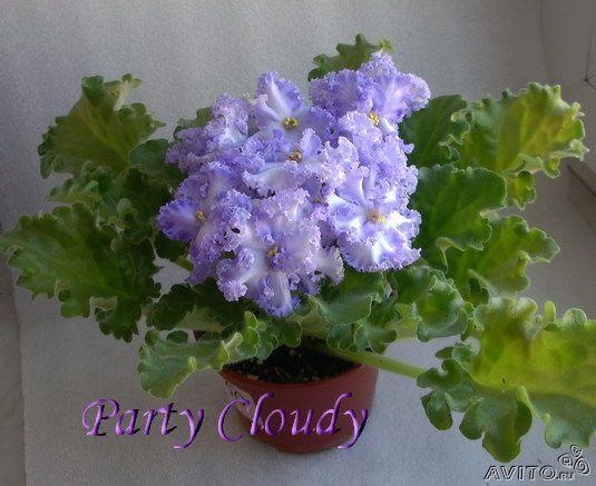 фиалка partly cloudy фото и описание