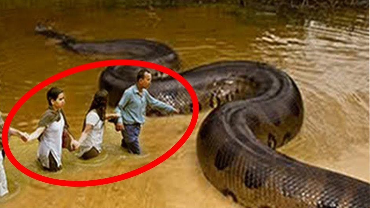 5 Scariest Animals Found In Australia Scary Animals Big Animals Giant Anaconda