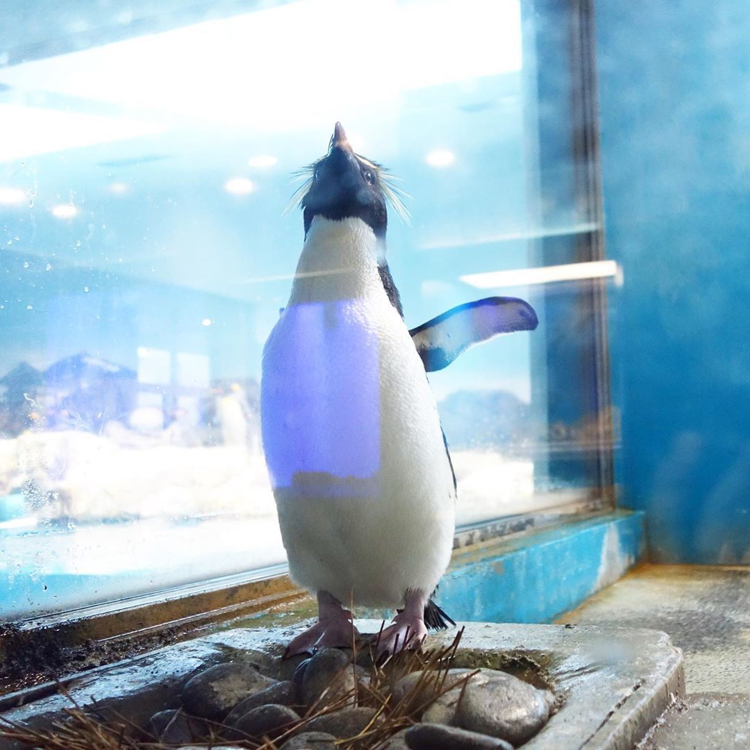 Welcome To My House Rockhopperpenguin Penguin Penguins Penguin Penguins Pinguino Pingouin Pinguin In 2020 Penguins Rockhopper Penguin Penguin Love