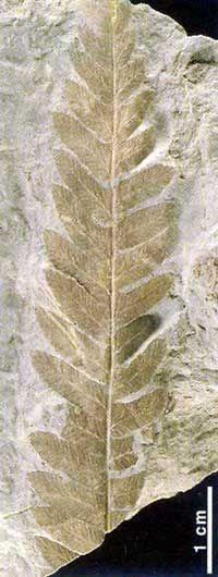 Helecho-del-genero-Cladophlebis