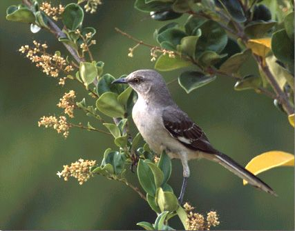 Zenzontle Is A Type Of Mockingbird Found In Oaxaca It Known As The Bird Thousand Voices And Can Imitate Almost Anything