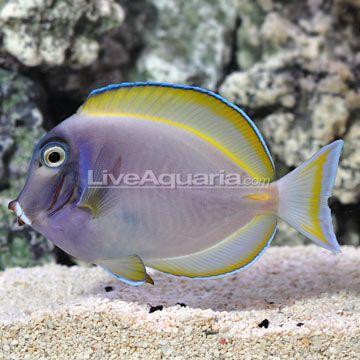Hybrid Powder Blue Tang Reef Safe Fish Fish Breeding Marine Fish
