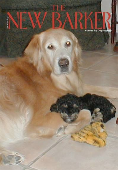 Looking at photos of all the dogs who have come and gone through our lives makes us nostalgic. Chloe and Zoe (now 14 and 15 year-old Cock-A-Poos) were just pups when photographed with Golden Retriever, Elmo. He's been gone from our lives for 10 years. It seems like only yesterday. #bestdog #dogs #goldenretriever #golden #thenewbarker #dogmagazine