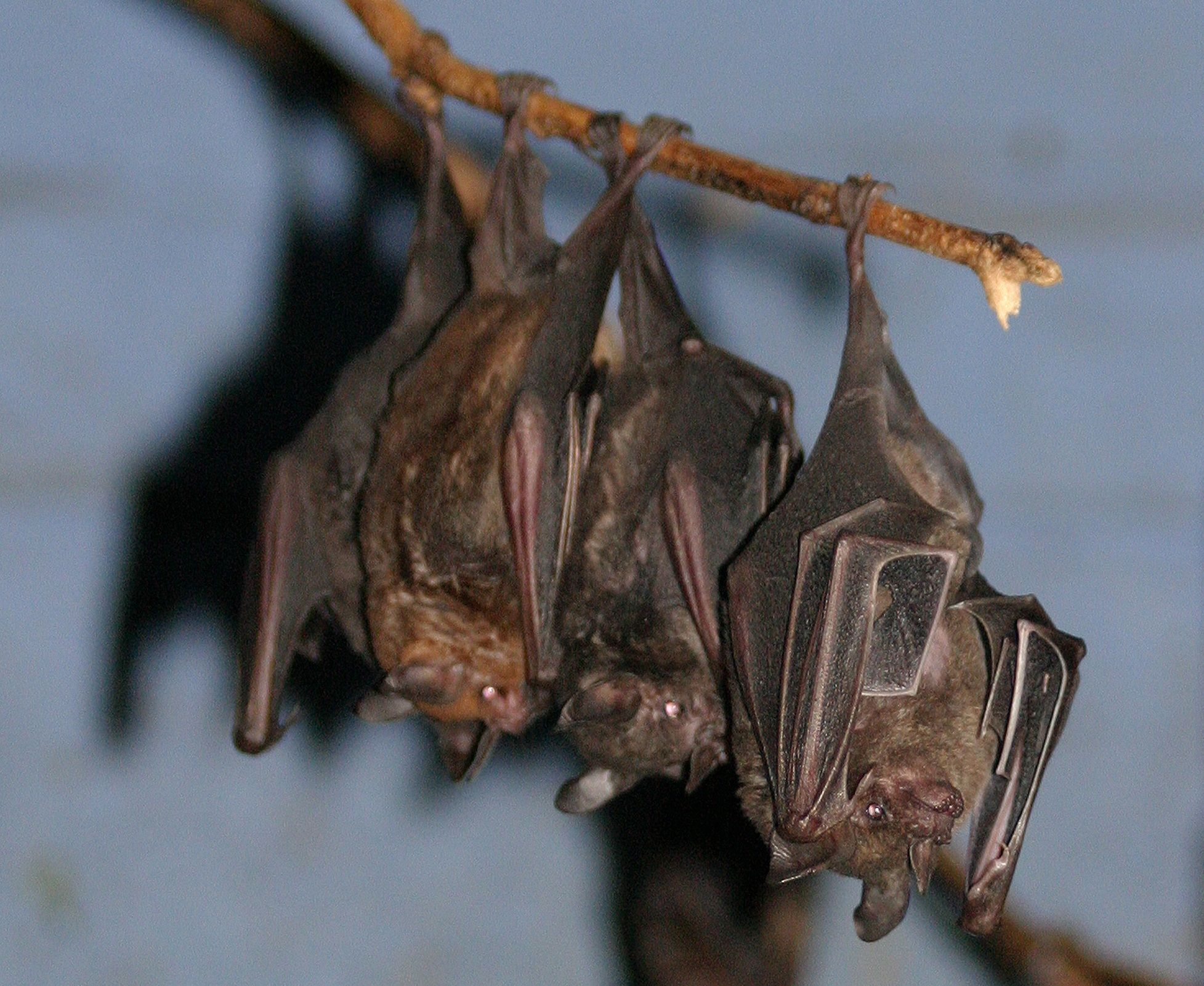 The Rodrigues Fruit Bat  The ojays Blog and Womens