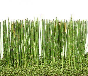pr le culture plantation et entretien le bambou bambou et japonais. Black Bedroom Furniture Sets. Home Design Ideas