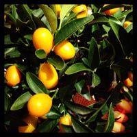 Il+Kumquat+o+Fortunella