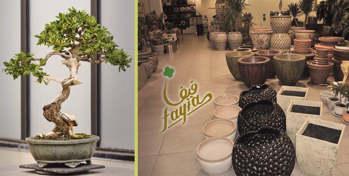 زين منزلك كحديقة خضراء بحصولك على مجموعة من النباتات المنزلية من إحدى المجموعات شجرة الخيزران الشجرة القزمة شجرة الصبار Cactus Plants Lucky Bamboo Cactus