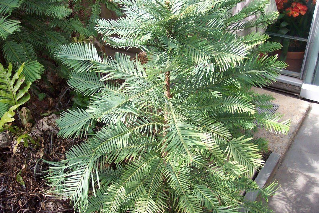 My Garden Pictures: Wollemi Pine