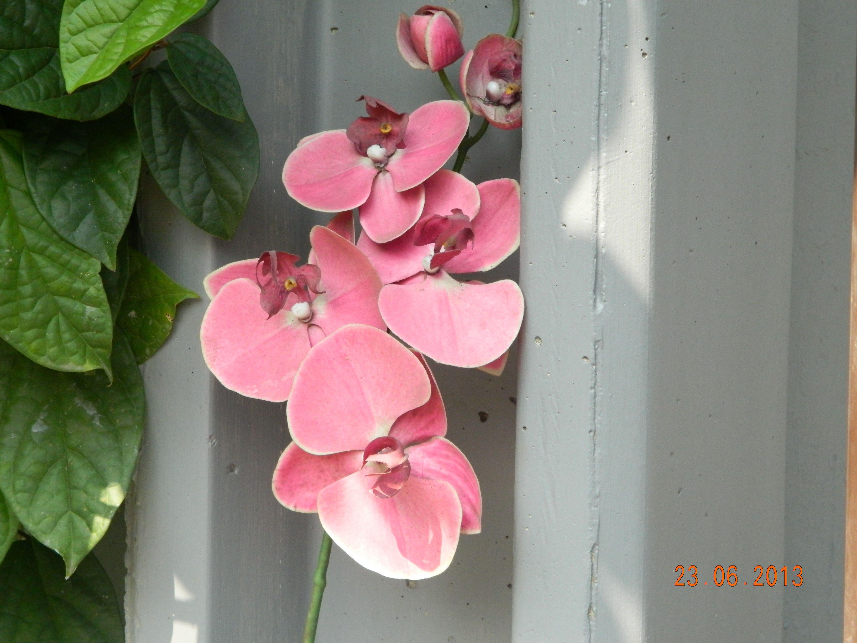 Wild orkid ...