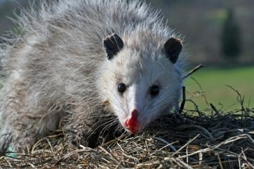 Possums In London And All Points South Animals Possum Australian Animals