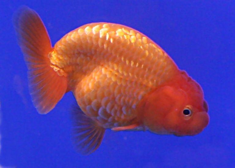 Wikipedia The Free Encyclopedia Goldfish Goldfish Species Goldfish Types