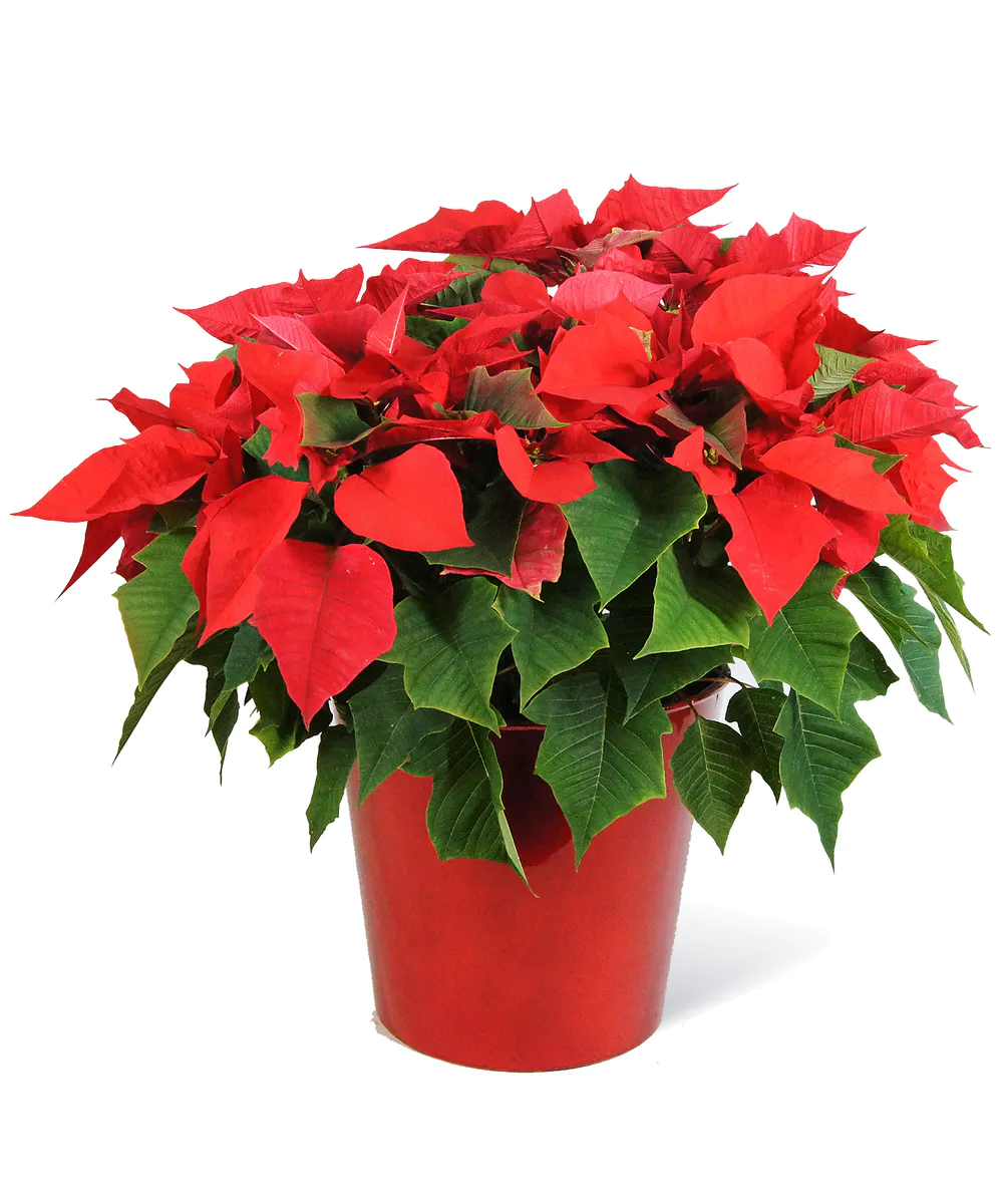 Red Poinsettia Festive Flowers Poinsettia Christmas Flowers