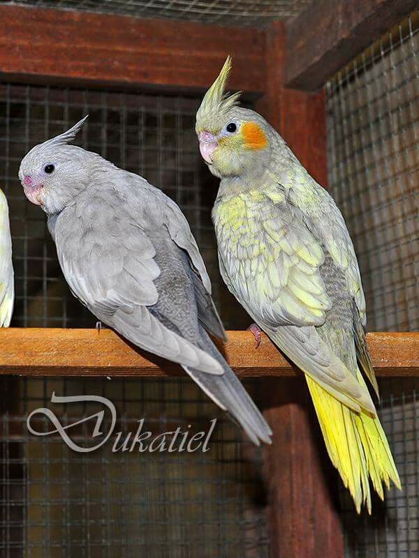 WF Emerald and Emerald Pearl cockatiels | Cockatiels and its