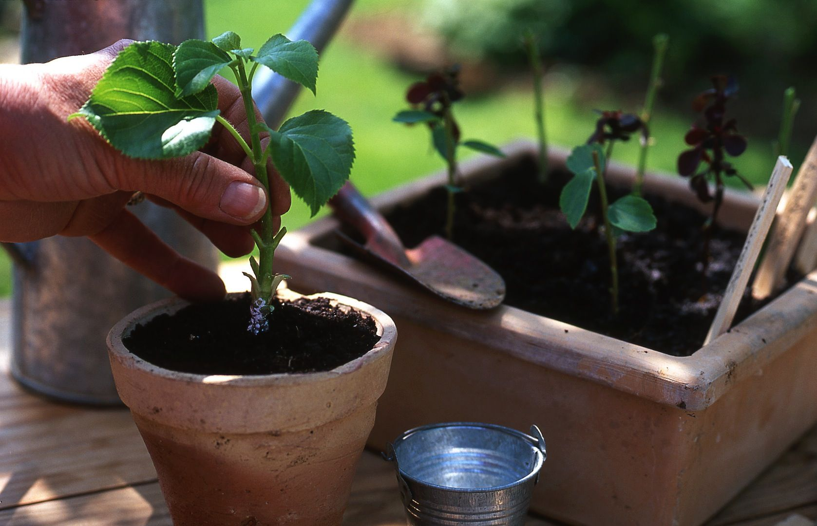 Hortensje Rozmnaza Sie Latwo Przez Sadzonki Wierzcholkowe Zabieg Ten Najlepiej Wykonac W Czerwcu Choc Odpowiednim Terminem Na Gl Plants Planters Planter Pots