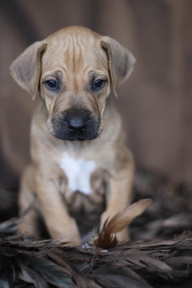 Adorable Rhodesian Ridgeback Puppy Animals Beautiful Baby Dogs