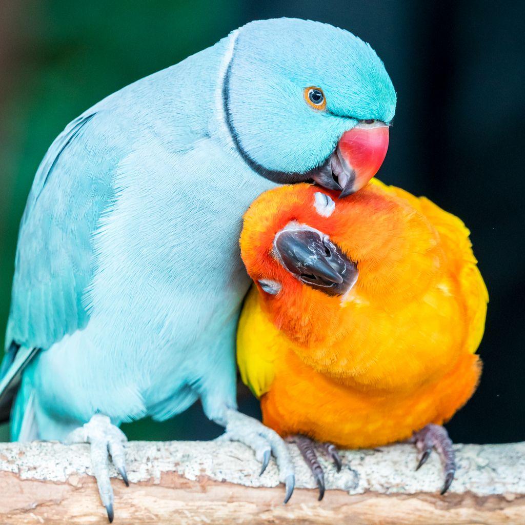 Blue Indian Ringneck and Sun Conure Pet birds, Cute