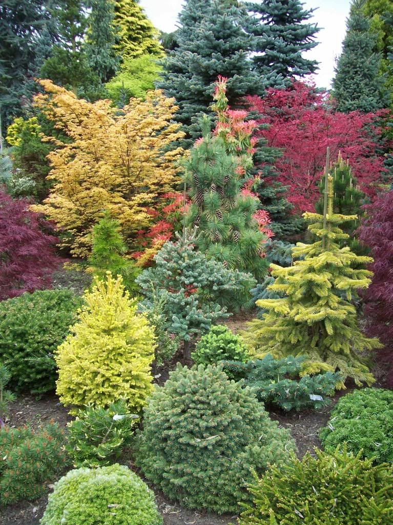 Amazing conifer garden Japanese maples provide additional color and