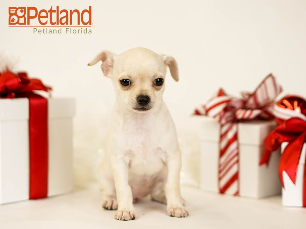 Petland Florida has Chihuahua puppies for sale! Check out