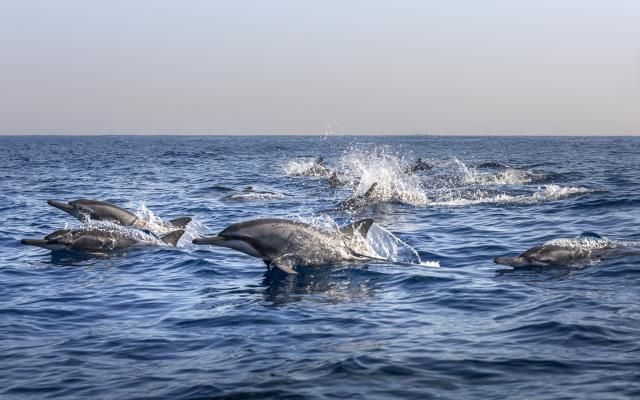 Dolphins off Lovina Beach, Bali. - Calvin Chan Wai Meng/Getty Images
