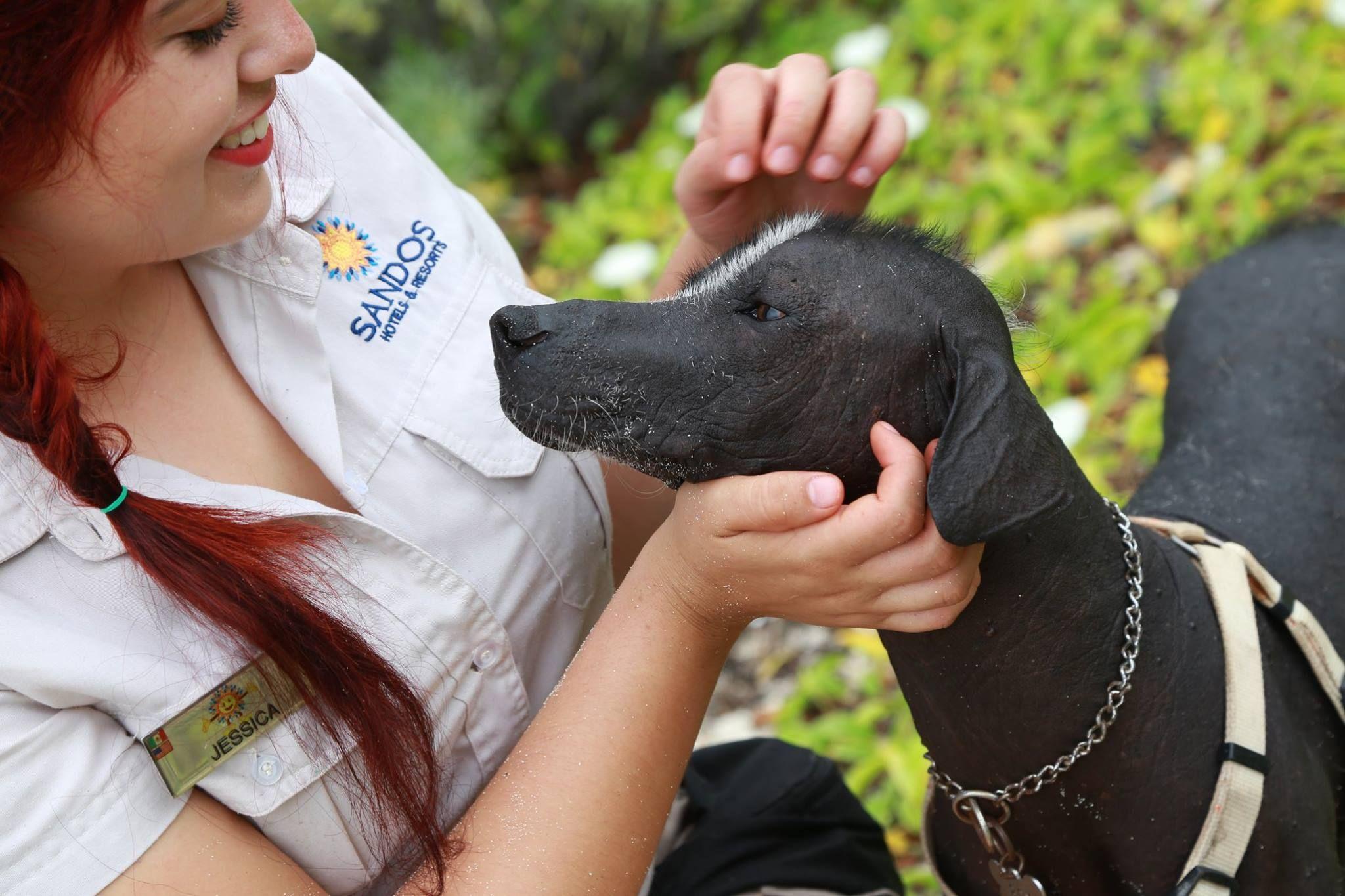 This #InternationalGuideDogsDay we'd like to introduce to you Box, 1 of the 3 prehispanic dogs we have at the resort.  Este #DíaInternacionaldePerrosGuía te presentamos a Box, uno de lo 3 perros prehispánicos de Sandos Caracol.