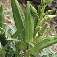 """Okra : Cajun Jewel - This dwarf variety produces an early crop of tender pods up to 7"""" long"""