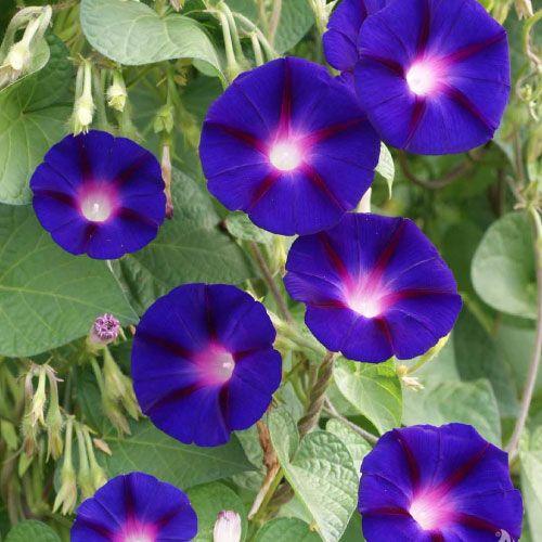 Morning Glory Seeds Deep Blue Ipomoea Nil Seeds 45 BULK SEEDS