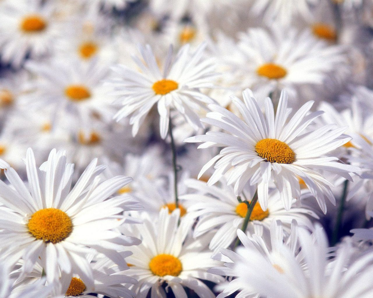 100 types of the most beautiful white flowers for your garden types of white flowers white is taken into consideration as a binding and mirroring shade izmirmasajfo