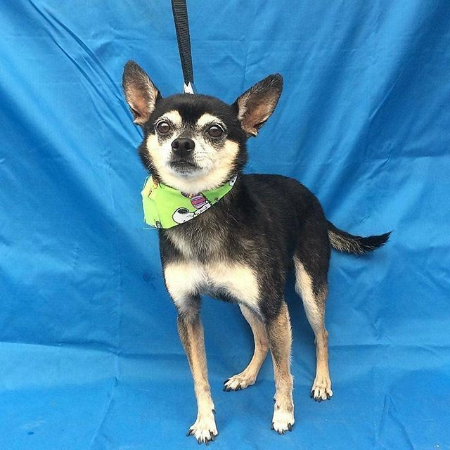 Meet Pedro A 9 Year Old 10 Pounds Male Chihuahua Who Is Friendly And A Cuddle Bug He Has Been At The Shelter Since March 24th An Animals Best Dogs Chihuahua