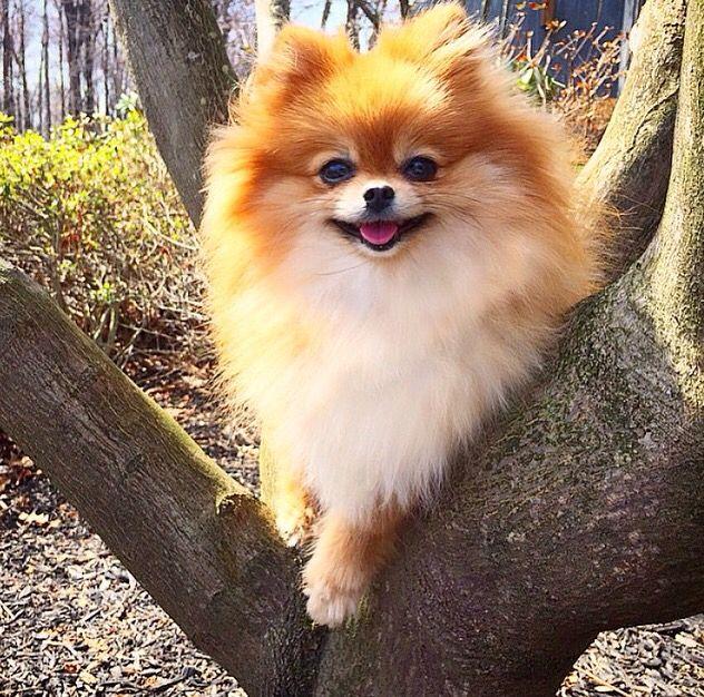 A tree climbing Pomeranian!