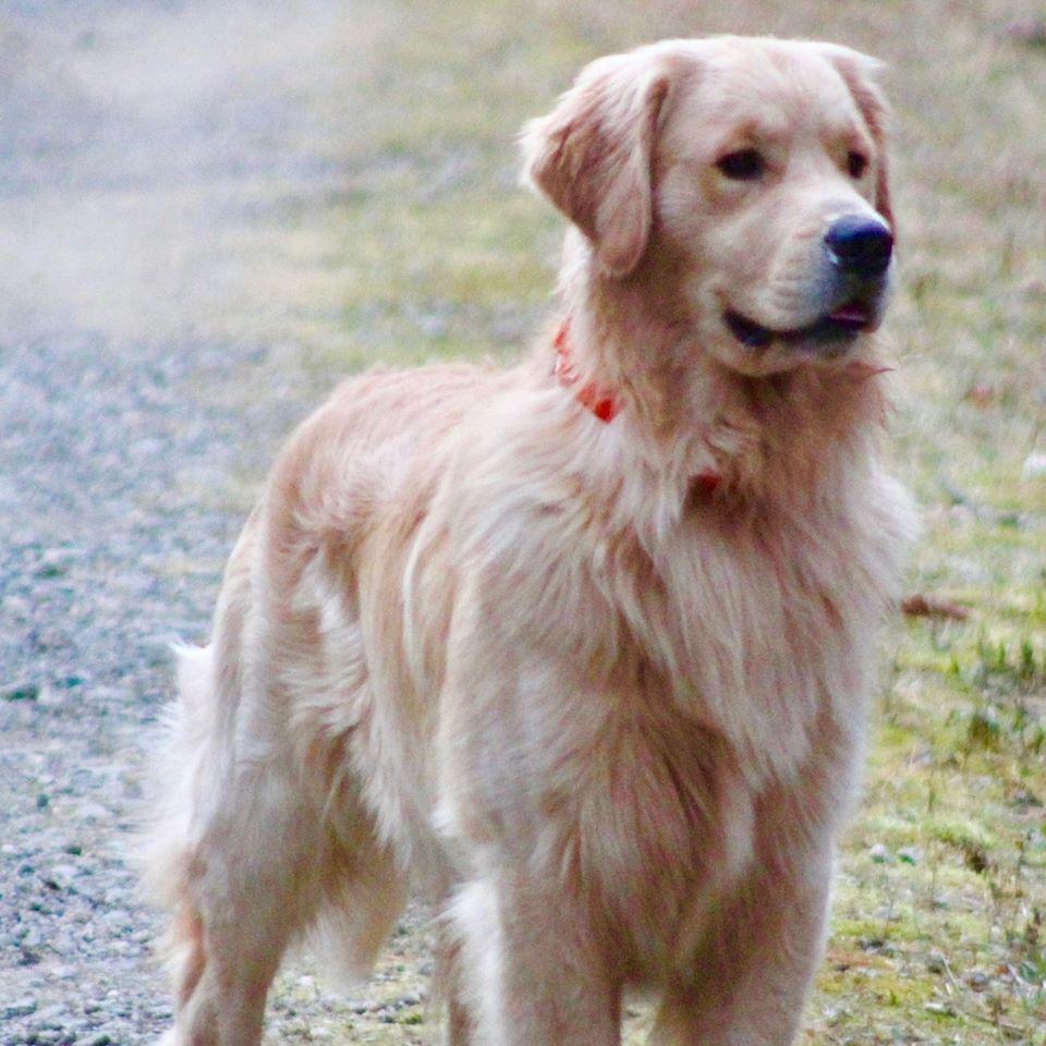 Dancing In The Snow Dogs Golden Retriever Retriever Puppy Dog Love