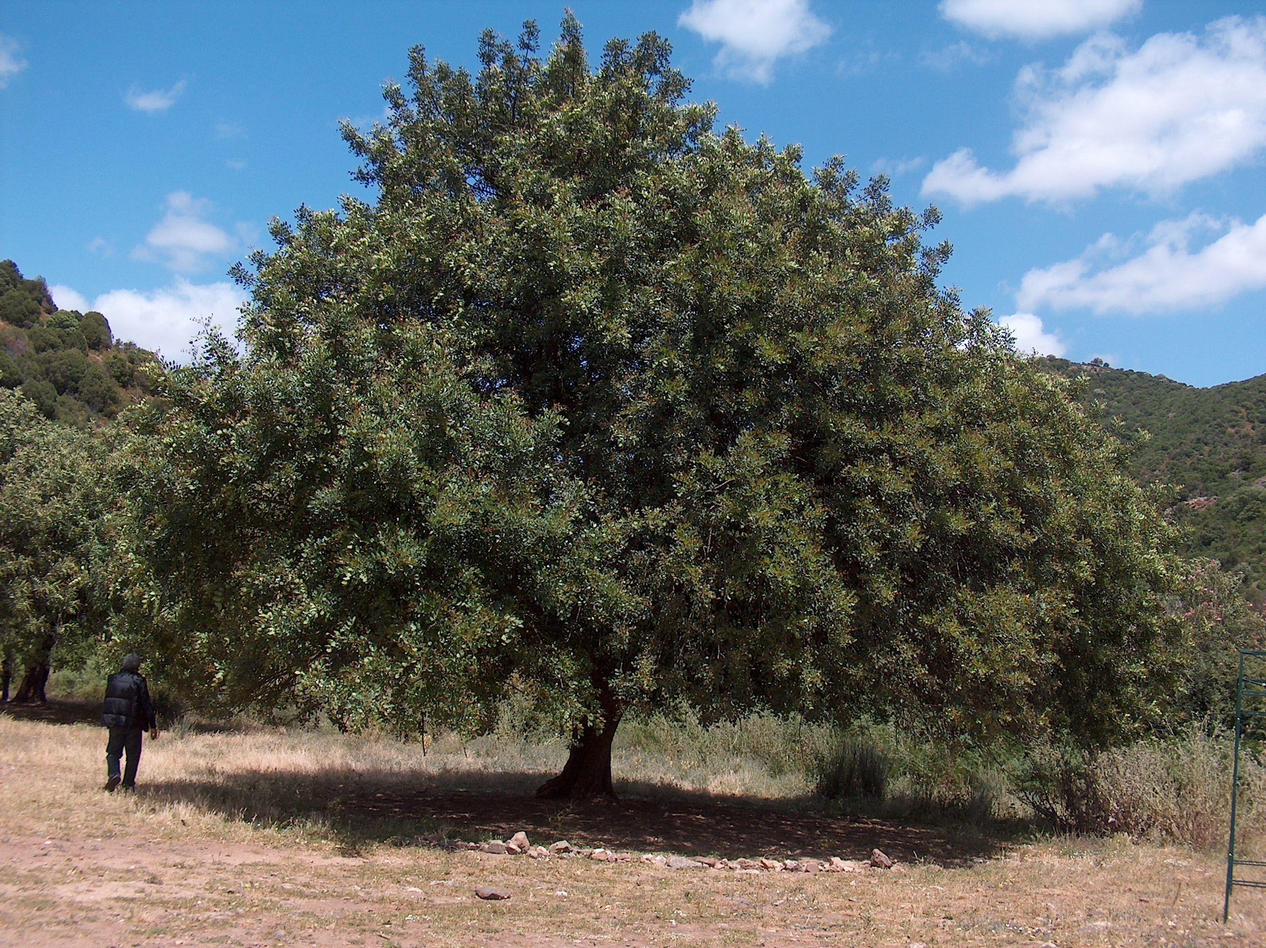 Ceratonia Siliqua Piante Medicinali Piante Verde
