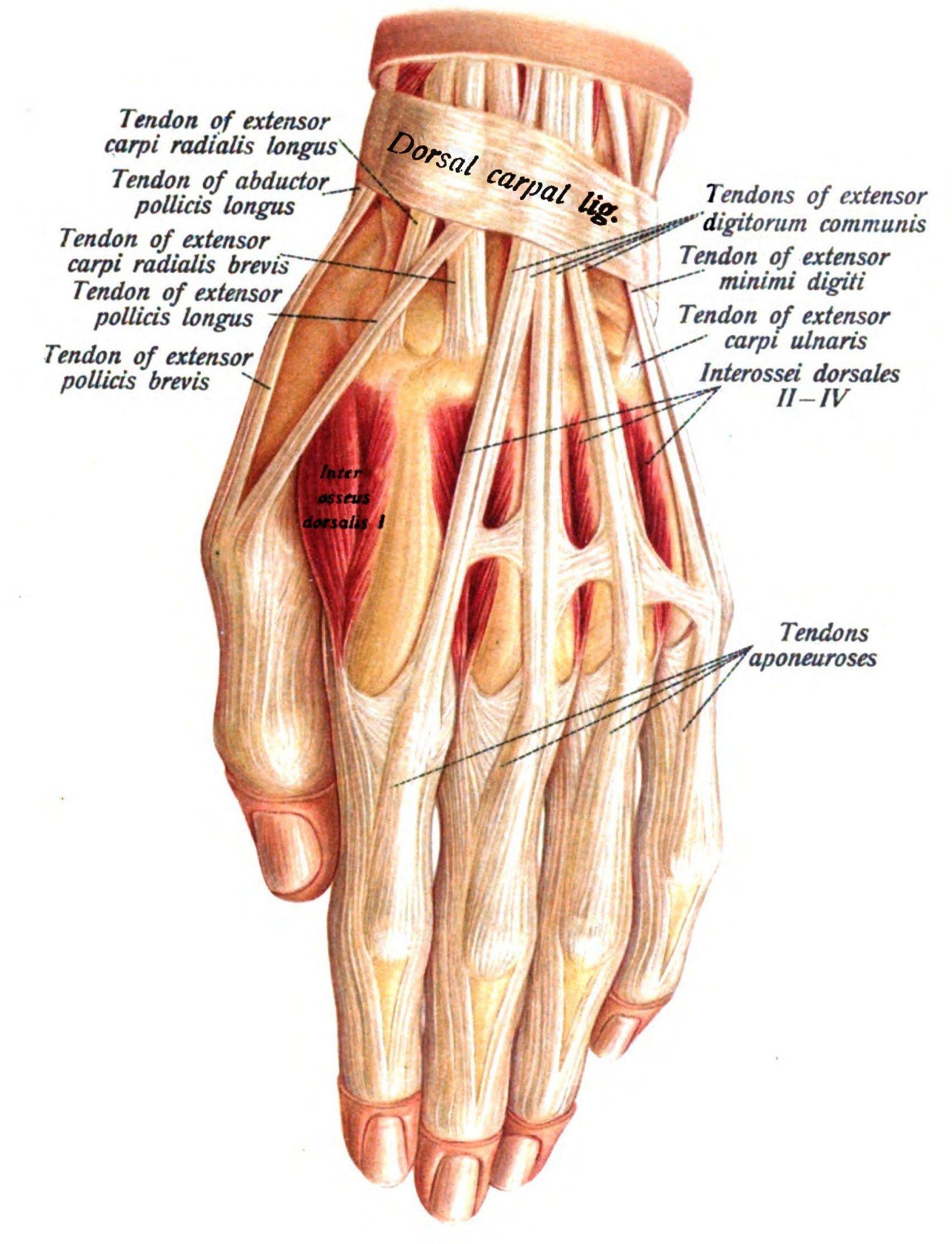 Human Hand Anatomy Filehand Anatomy Wikipedia Koibana Info Hand Anatomy Anatomy Human Anatomy Drawing