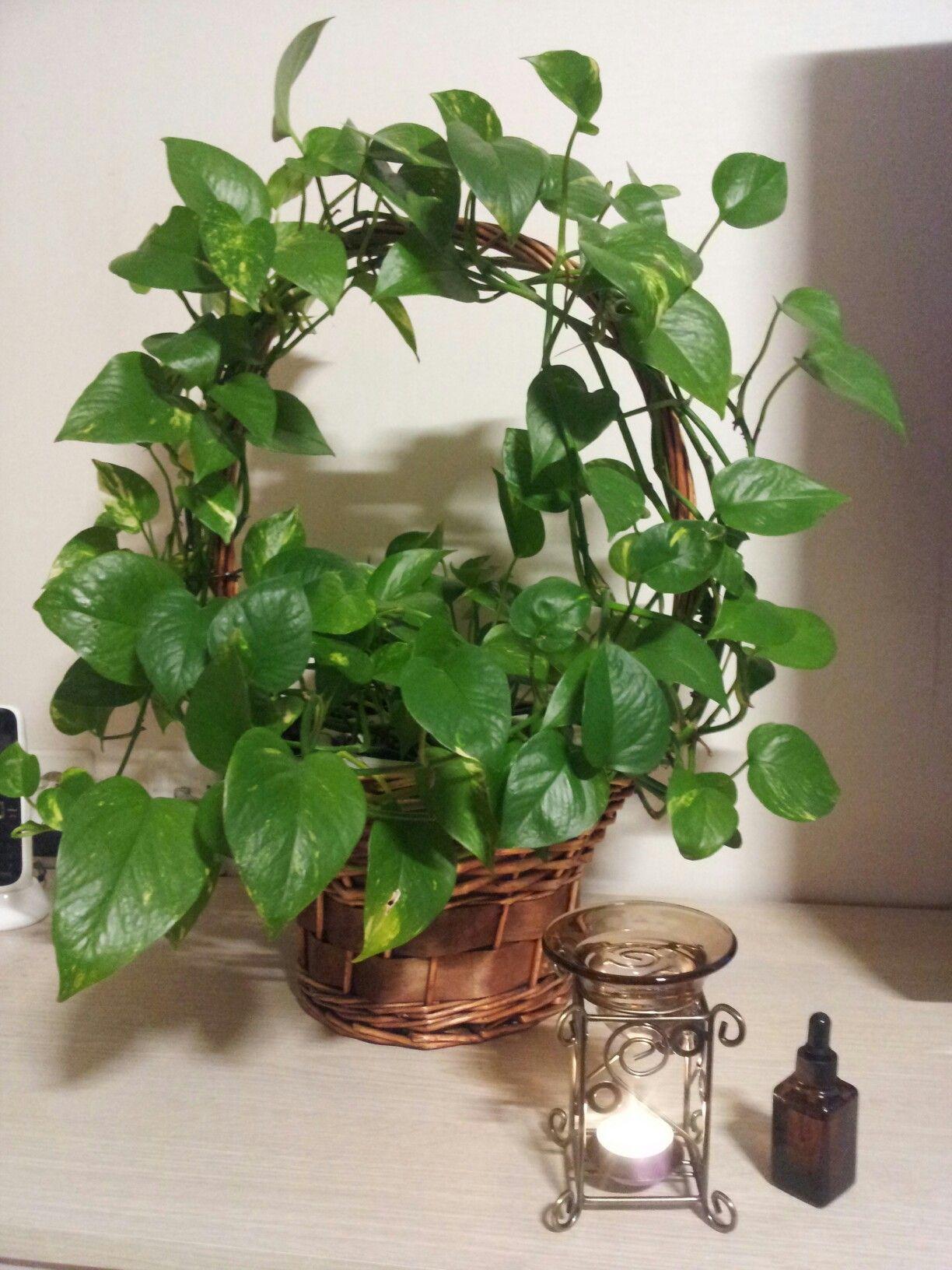 Scindapsus Aureus House Plants Decor Plant Decor Indoor Plants