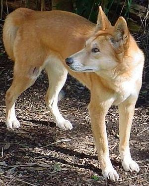 Canis Lupus Dingo Dingo Generally Believed To Be Descended From Semi Domesticated Dogs From East Or South Asia Which Returned T Dingo Dog Dogs Carolina Dog
