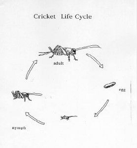 cricket insect life cycle crickets pinterest cricket creative curriculum and free activities. Black Bedroom Furniture Sets. Home Design Ideas