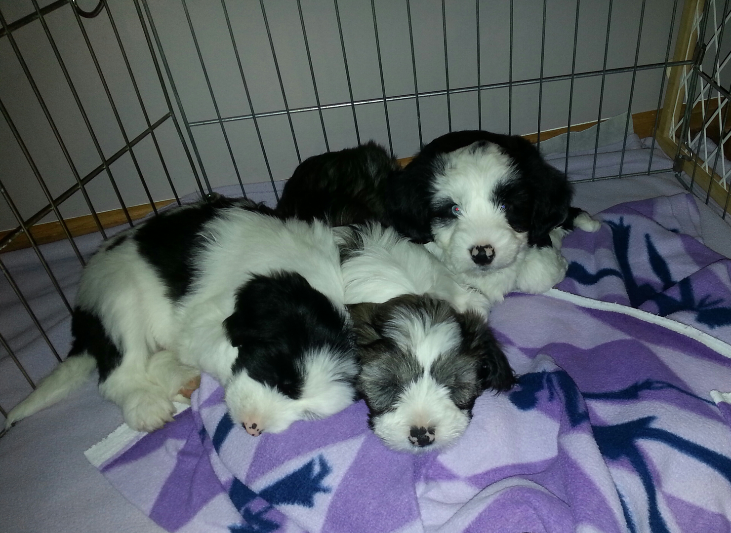 Tibetan Terrier Puppies For Sale Minneapolis Mn Terrier Puppies Puppies Tibetan Terrier