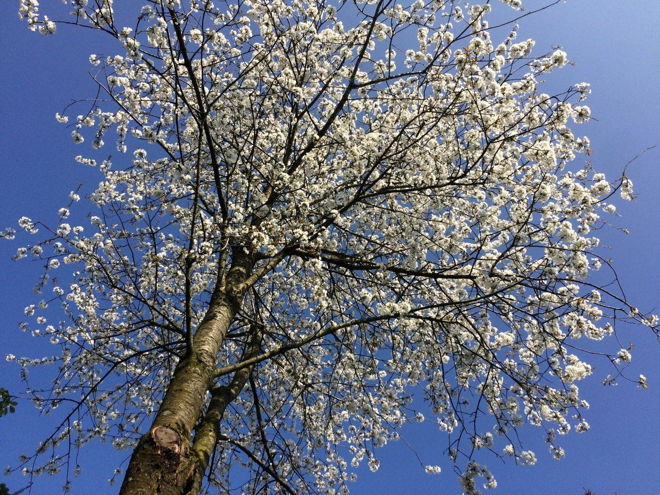 Merisier en fleur, Arbres et arbustes - MonSitePhotos ...