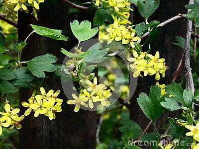 Beautiful yellow flowers of blackcurrant bush in early spring beautiful yellow flowers of blackcurrant bush in early spring mightylinksfo