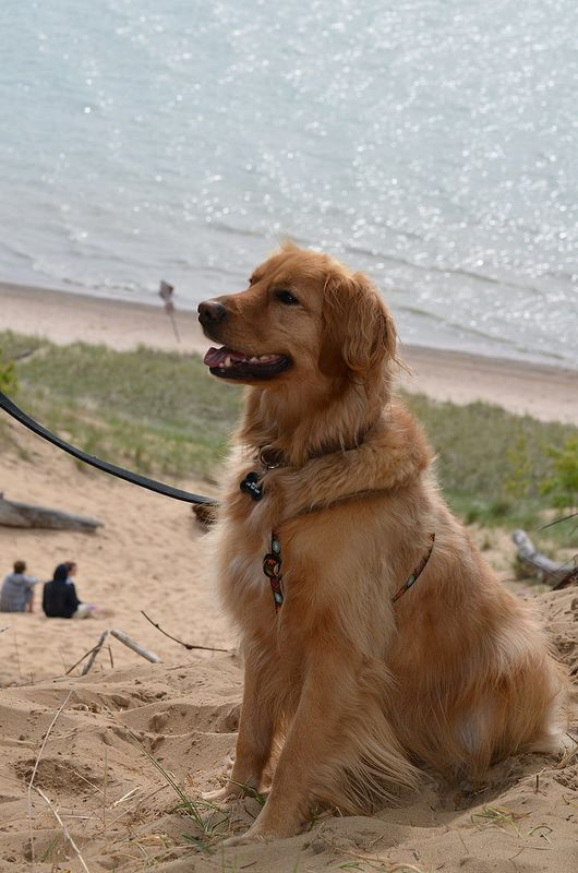 Lake Michigan Sand Dune With Images Pet Dogs Puppies Dog Beach Dogs Golden Retriever