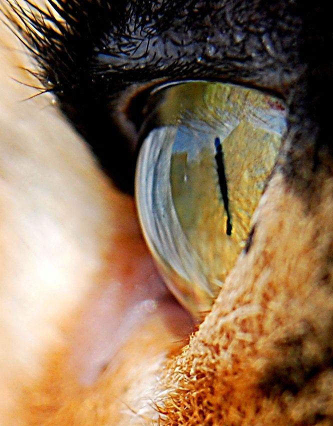 eye. by Siiiiim0n on DeviantArt | Cat anatomy, Eyes, Wild cats