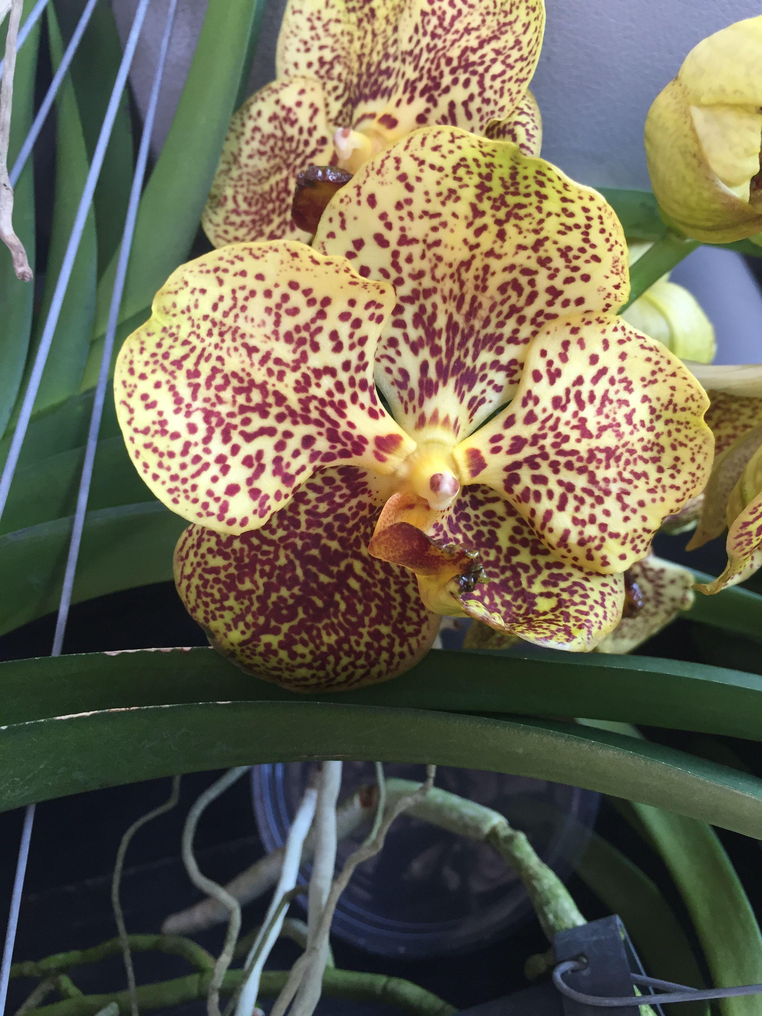 Pin Von Pablo Martin Auf Vanda Orchideen