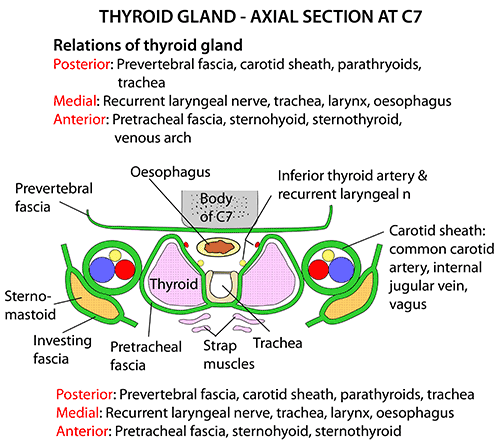 Image result for relations of thyroid gland | Endocrine System ...