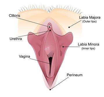 clitoris anatomia del
