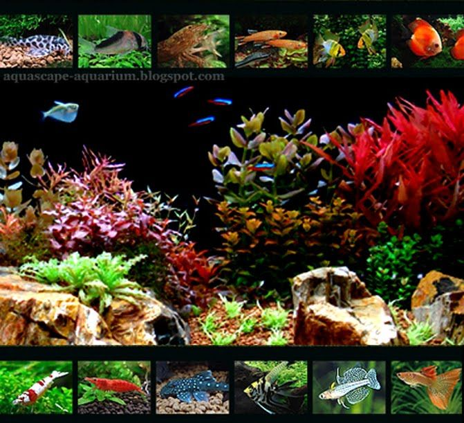 Types of freshwater aquarium fish freshwater tropical for Planted fish tank