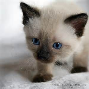 Siamese Cats Bing Images Balinese Cat