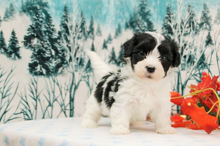 Royal Flush Havanese Puppies For Sale In Florida Havanese Puppies For Sale Puppies For Sale Havanese Puppies