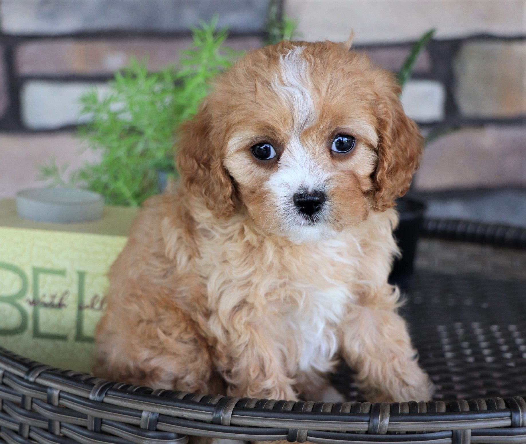 Adorable Friendly Curly These Cavapoo Pups Make A Lovingcompanion Or Great Therapydog They Love T Cavapoo Puppies Cute Baby Animals Baby Animals